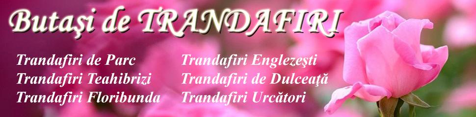 BUTASI DE TRANDAFIRI CIUMBRUD PLANT 2016