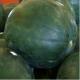 Seminte profesionale - Pepene verde - hibrid timpuriu - Baronesa F1