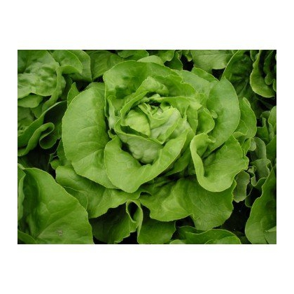 Seminte profesionale - Salata de capatana - Pia