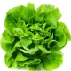Seminte profesionale - Salata de capatana - Sprinter