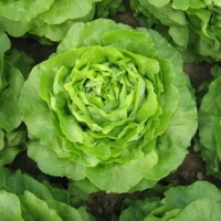 Seminte profesionale - Salata de capatana - Santoro