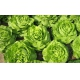 Seminte profesionale - Salata de capatana - Jolito