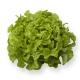 Seminte profesionale - Salata creata tip frunza de stejar KIRIBATI