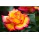 Butasi trandafiri  'Sheila's Perfume'  sn. Double Parfume