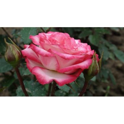 Butasi de trandafiri LAMINUETTE