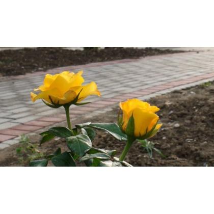 Butasi de trandafiri KERIO
