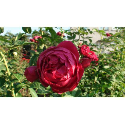 Butasi trandafiri ASCOT
