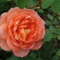Butasi trandafiri SHAOLIN