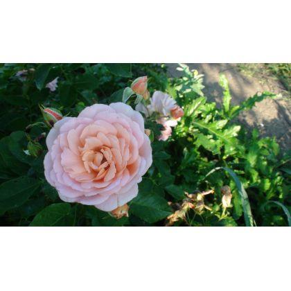 Butasi de trandafiri GEISHA