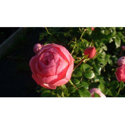 Butasi de trandafiri POMPONELLA