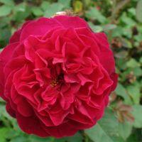 Butasi de trandafiri MUSTOSA