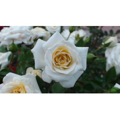 Butasi de trandafiri HONEY MILK