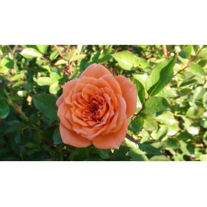 Butasi de trandafiri NINETTA