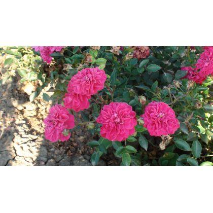 Butasi de trandafiri ROXY