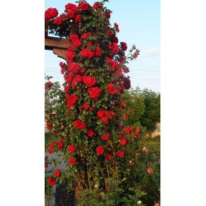 Butasi de trandafiri AMADEUS