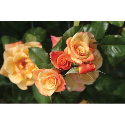 Butasi de trandafiri MOONLIGHT