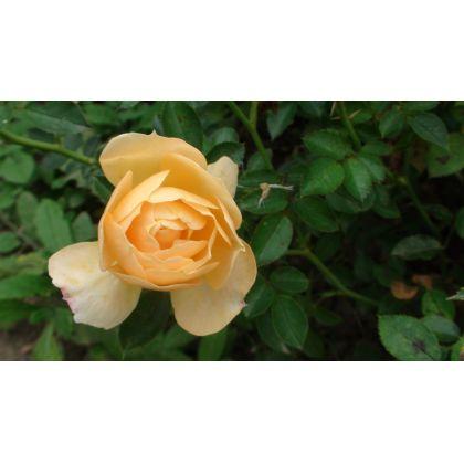 Butasi de trandafiri AMBER COVER