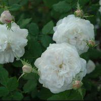 Butasi de trandafiri MADAME PLANTIER