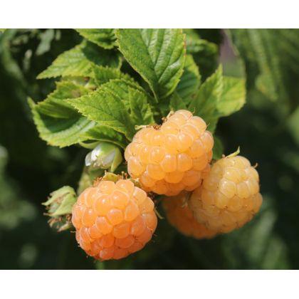 Arbusti fructiferi FALL GOLD