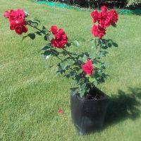 Trandafir la ghiveci - AMADEUS