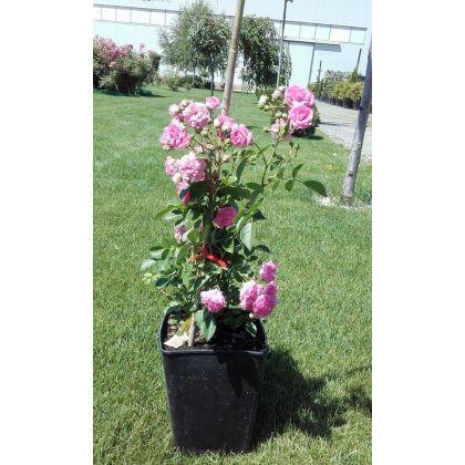 Trandafir la ghiveci - SUPER DOROTHY