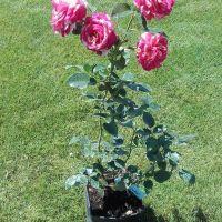 Trandafir la ghiveci - BROCELIANDE