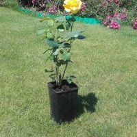 Trandafir la ghiveci - KERIO