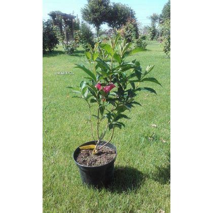 Arbust ornamental la ghiveci WEIGELA EVA RATHKE