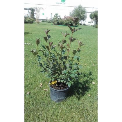 Arbust ornamental la ghiveci WEIGELA FLORIDA NANA PURPUREA
