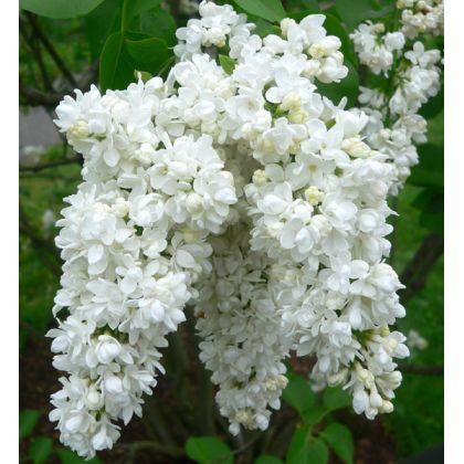 Arbust ornamental la ghiveci SYRINGA VULGARIS MISS ELLEN WILLMOTT