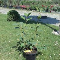 Arbust ornamental la ghiveci SYRINGA x PRESTONI MISS CANADA