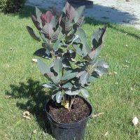 Arbust ornamental la ghiveci COTINUS COGGYGRIA FOLIIS PURPUREIS