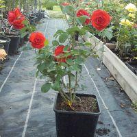 Trandafir la ghiveci - FOC DE TABARA