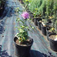 Arbust ornamental la ghiveci HIBISCUS SYRIACUS ARDENS