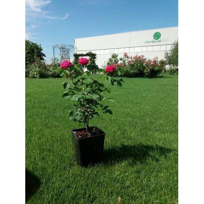 Trandafir la ghiveci - ROSE DE RESCHT