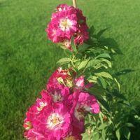 Trandafir la ghiveci - PERENIAL BLUE