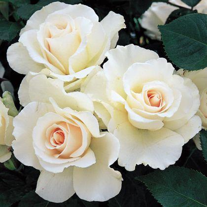 Butasi de trandafiri MARGARET MERRIL®