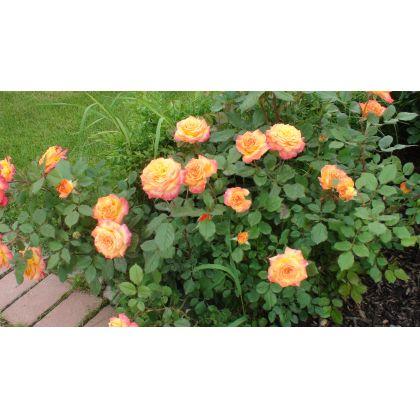 Butasi de trandafiri GARTENSPASS®