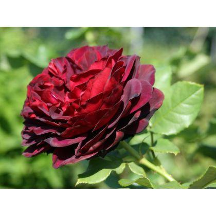 Butasi de trandafiri ASTRID GRAFIN VON HARDENBERG