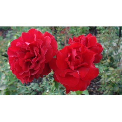 Butasi de trandafiri WETTRA