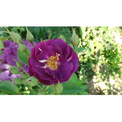 Butasi de trandafiri RHAPSODY IN BLUE