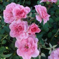Butasi de trandafiri PETRINA