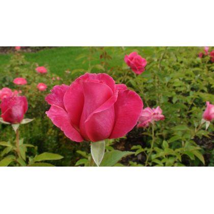 Butasi de trandafiri CAPRICE DE MEILLAND