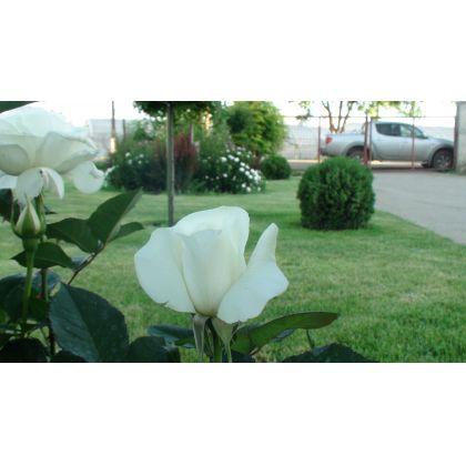 Butasi de trandafiri COSMOS