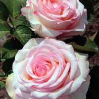 Butasi de trandafiri CHLOE RENAISSANCE