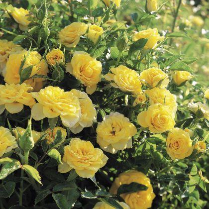 Butasi de trandafiri SUN HIT