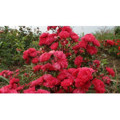 Butasi de trandafiri THE FAIRY