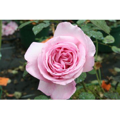 Butasi de trandafiri TINO ROSSI