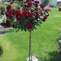 Trandafir tip pom BORDO
