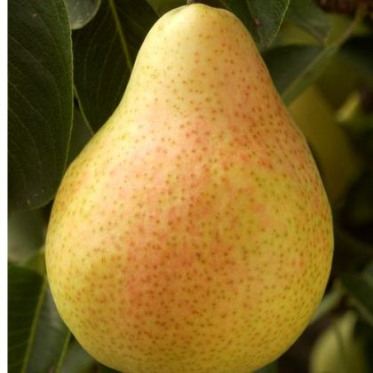 Pom fructifer Par Dr. JULES GUYOT